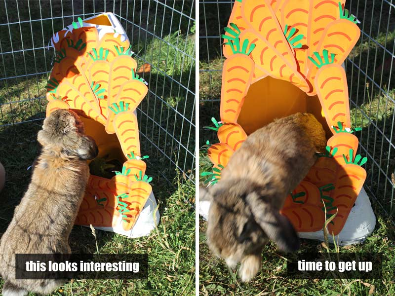 Waffles the rabbit enjoys jumping in and out